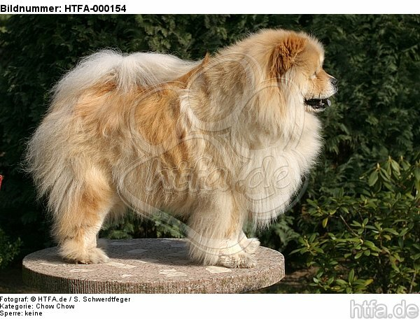 stehender Chow Chow / standing Chow Chow / HTFA-000154