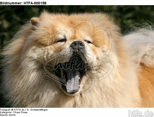 g�hnender Chow Chow / yawning Chow Chow / HTFA-000158