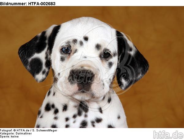 Dalmatiner Welpe / dalmatian puppy / HTFA-002683