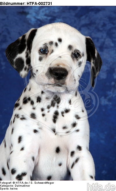Dalmatiner Welpe / dalmatian puppy / HTFA-002731