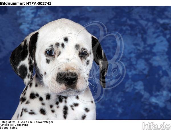 Dalmatiner Welpe / dalmatian puppy / HTFA-002742