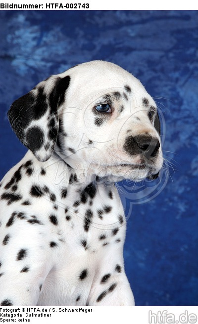 Dalmatiner Welpe / dalmatian puppy / HTFA-002743