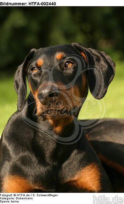 Dobermann / doberman pinscher / HTFA-002440