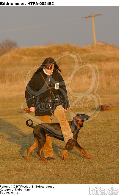 Dobermann / doberman pinscher / HTFA-002462