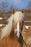 Haflinger Portrait / haflinger horse portrait