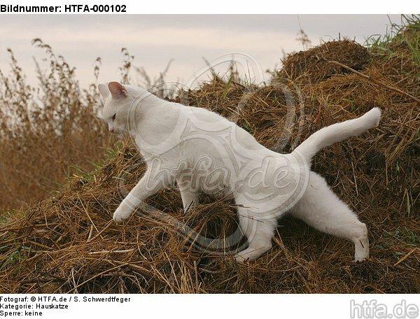 laufende wei�e Hauskatze / walking white domestic cat / HTFA-000102