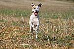 rennender American Staffordshire Terrier / running american staffordshire terrier