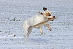 American Staffordshire Terrier spielt im Schnee / playing american staffordshire terrier in snow