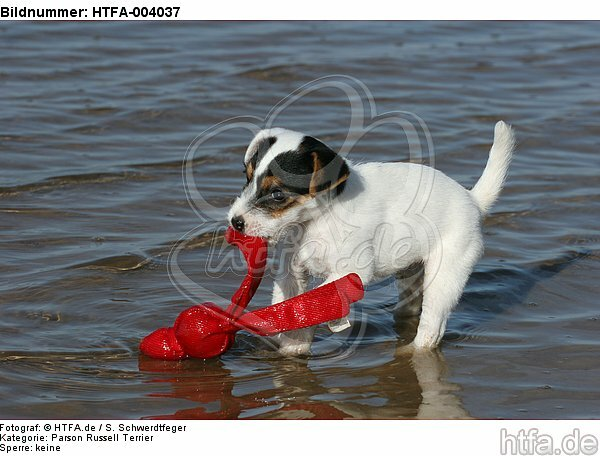 Parson Russell Terrier Welpe / parson russell terrier puppy / HTFA-004037