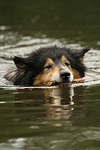 schwimmender Langhaarcollie / swimming longhaired collie
