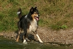 nasser Langhaarcollie / wet longhaired collie