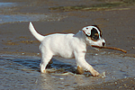 Parson Russell Terrier Welpe / parson russell terrier puppy