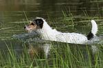 schwimmender Parson Russell Terrier / swimming PRT