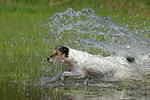planschender Parson Russell Terrier / splashing PRT