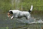 springender Parson Russell Terrier / jumping PRT