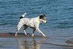 laufender Parson Russell Terrier / walking PRT