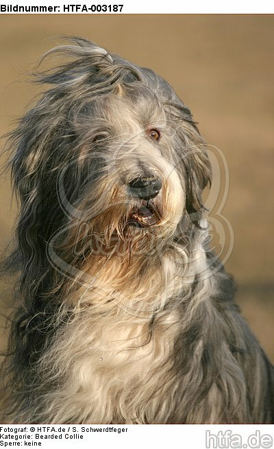 Bearded Collie / HTFA-003187