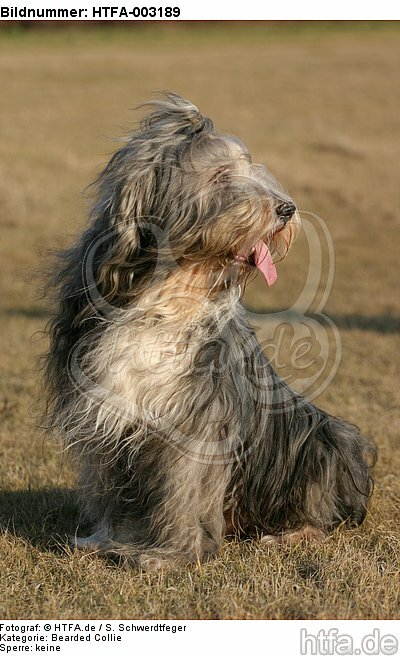 Bearded Collie / HTFA-003189