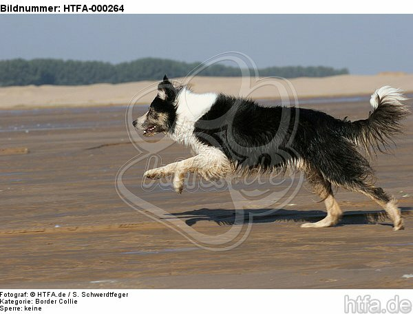 rennender Border Collie / running Border Collie / HTFA-000264