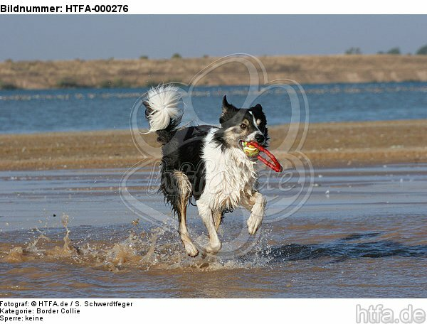 spielender Border Collie am Strand / playing Border Collie at beach / HTFA-000276