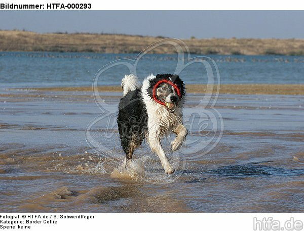 spielender Border Collie am Strand / playing Border Collie at beach / HTFA-000293