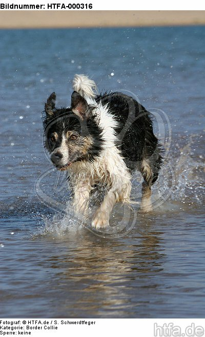 Border Collie rennt durchs Wasser / running Border Collie / HTFA-000316