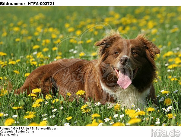 Border Collie / HTFA-003721