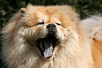 g�hnender Chow Chow / yawning Chow Chow