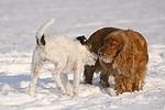 Parson Russell Terrier begegnet Cocker Spaniel / prt and cocker spaniel