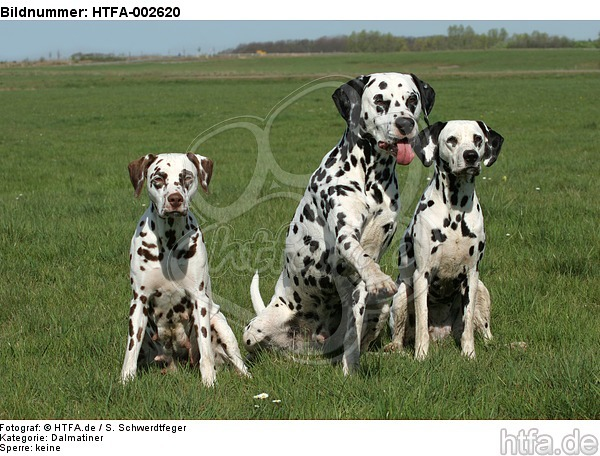 Dalmatiner / dalmatian / HTFA-002620