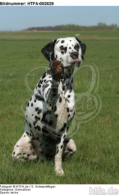 Dalmatiner / dalmatian / HTFA-002629