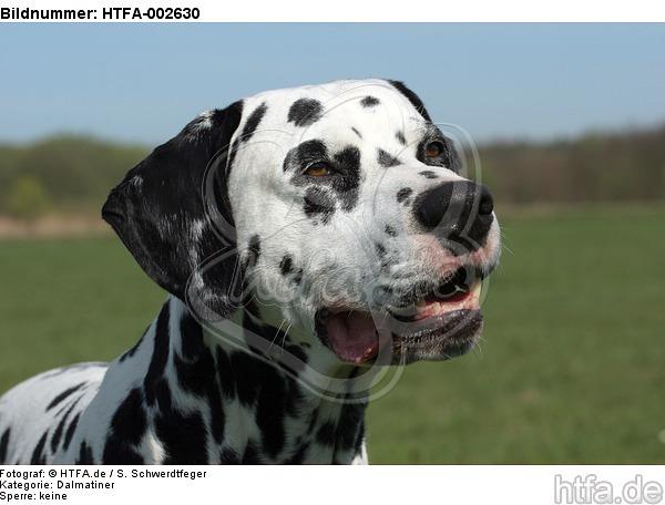 Dalmatiner / dalmatian / HTFA-002630