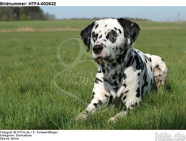 Dalmatiner / dalmatian / HTFA-002632