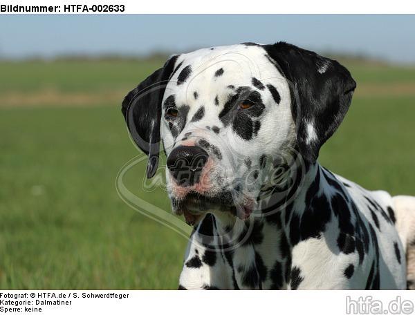 Dalmatiner / dalmatian / HTFA-002633
