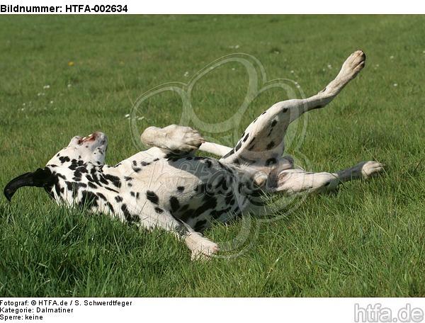 Dalmatiner / dalmatian / HTFA-002634
