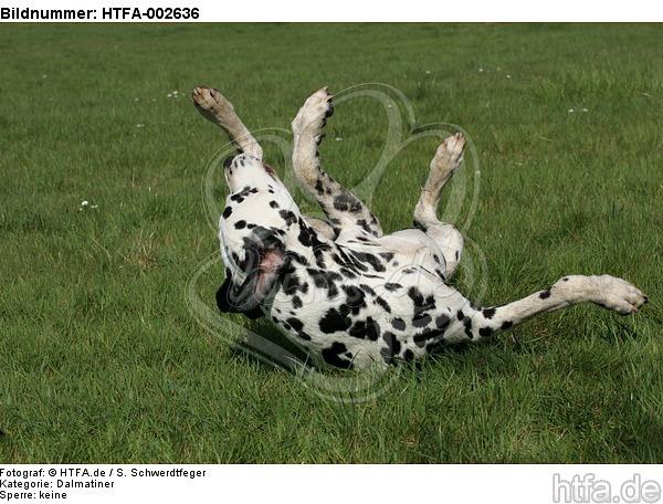 Dalmatiner / dalmatian / HTFA-002636