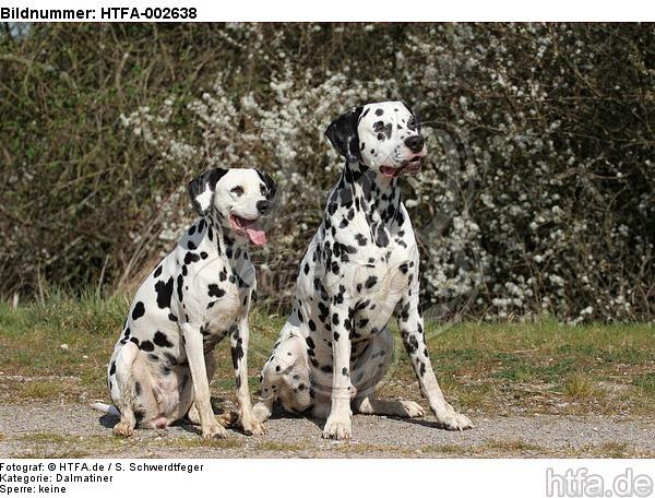 Dalmatiner / dalmatian / HTFA-002638