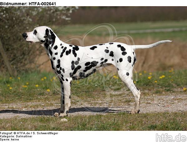 Dalmatiner / dalmatian / HTFA-002641