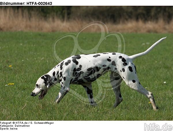 Dalmatiner / dalmatian / HTFA-002643