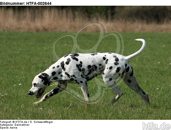 Dalmatiner / dalmatian / HTFA-002644