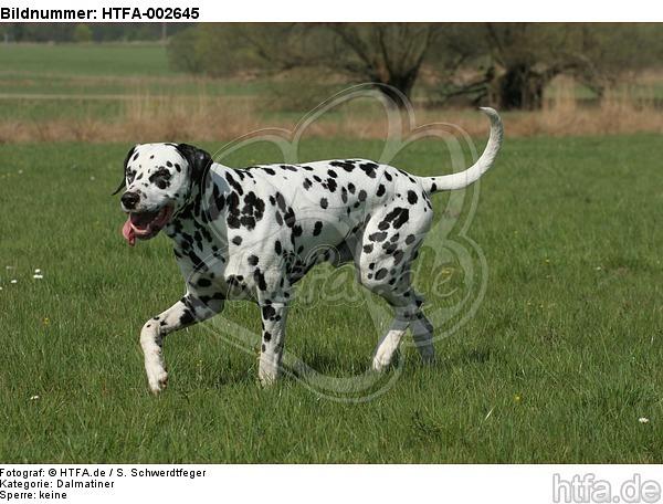 Dalmatiner / dalmatian / HTFA-002645