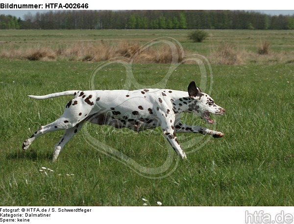 Dalmatiner / dalmatian / HTFA-002646