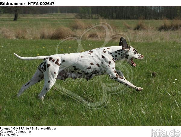 Dalmatiner / dalmatian / HTFA-002647