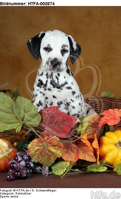 Dalmatiner Welpe / dalmatian puppy / HTFA-002674
