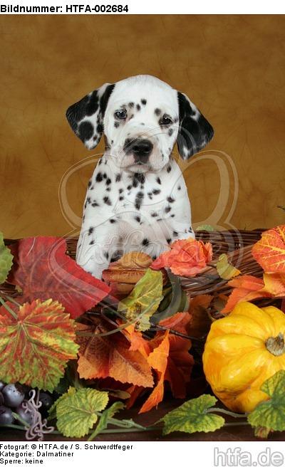 Dalmatiner Welpe / dalmatian puppy / HTFA-002684