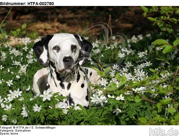 Dalmatiner / dalmatian / HTFA-002780