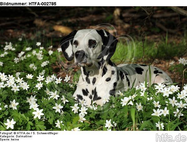 Dalmatiner / dalmatian / HTFA-002785