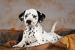 Dalmatiner Welpe / dalmatian puppy
