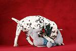 Dalmatiner Welpe / dalmatian puppy