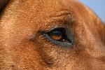 Rhodesian Ridgeback Auge / rhodesian ridgeback eye